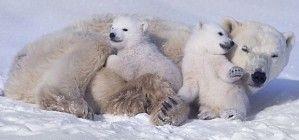 Белая медведица с медвежатами